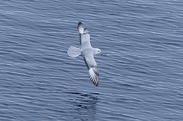 Antarctic Fulmar (Fulmarus glacialoides) flying, Southern Ocean, Antarctica  -  Tui De Roy