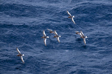 Antarctic Petrel (Thalassoica antarctica) flock flying, Southern Ocean, eastern Antarctica  -  Tui De Roy