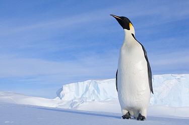 Emperor Penguin (Aptenodytes forsteri), Prydz Bay, eastern Antarctica  -  Tui De Roy