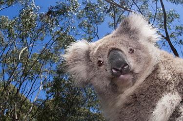 Koala (Phastolarctos cinereus) in Gum Tree (Eucalyptus sp) forest, Victoria, Australia  -  Tui De Roy