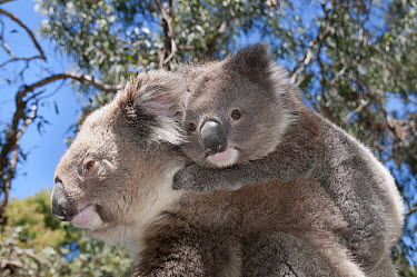 Koala (Phastolarctos cinereus) mother carrying young in Gum Tree (Eucalyptus sp) forest, Victoria, Australia  -  Tui De Roy