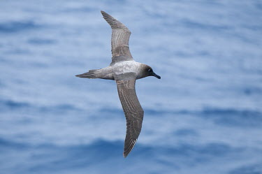 Light-mantled Albatross (Phoebetria palpebrata) flying, Southern Ocean, Antarctica  -  Tui De Roy