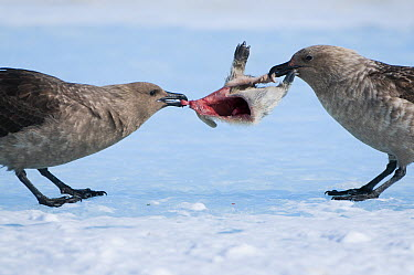 South Polar Skua (Stercorarius maccormicki) pair fighting over Emperor Penguin (Aptenodytes forsteri) chick carcass, Prydz Bay, eastern Antarctica  -  Tui De Roy