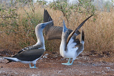 Blue-footed Booby (Sula nebouxii) sky pointing during courtship dance, Galapagos Islands, Ecuador. Sequence 1 of 3  -  Tui De Roy