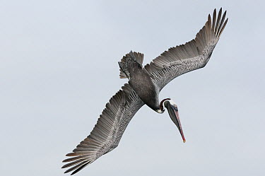Brown Pelican (Pelecanus occidentalis) plunge diving, Galapagos Islands, Ecuador  -  Tui De Roy