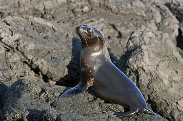 Galapagos Fur Seal (Arctocephalus galapagoensis) sub-adult, Galapagos Islands, Ecuador  -  Tui De Roy
