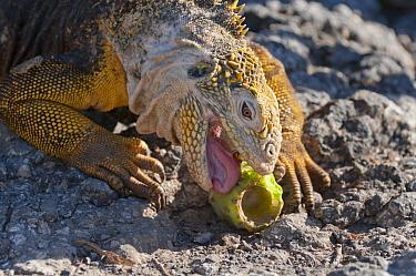 Galapagos Land Iguana (Conolophus subcristatus) feeding on Opuntia (Opuntia sp) fruit, Galapagos Islands, Ecuador  -  Tui De Roy