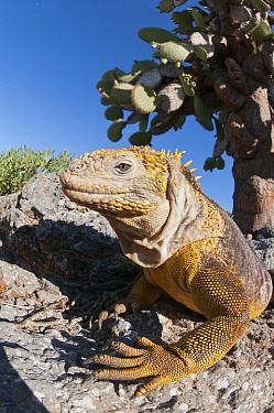Galapagos Land Iguana (Conolophus subcristatus) basking, Galapagos Islands, Ecuador  -  Tui De Roy
