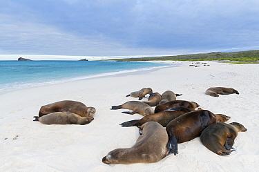 Galapagos Sea Lion (Zalophus wollebaeki) group resting on beach, Galapagos Islands, Ecuador  -  Tui De Roy
