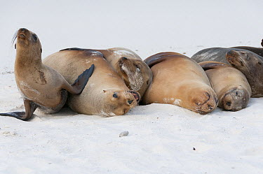 Galapagos Sea Lion (Zalophus wollebaeki) females and pup resting on beach, Galapagos Islands, Ecuador  -  Tui De Roy