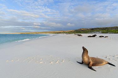Galapagos Sea Lion (Zalophus wollebaeki) female basking on beach, Galapagos Islands, Ecuador  -  Tui De Roy