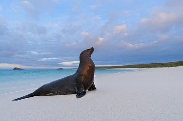 Galapagos Sea Lion (Zalophus wollebaeki) basking on beach, Galapagos Islands, Ecuador  -  Tui De Roy