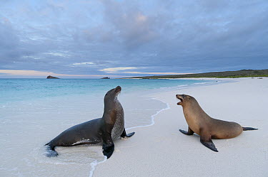 Galapagos Sea Lion (Zalophus wollebaeki) pair on beach, Galapagos Islands, Ecuador  -  Tui De Roy