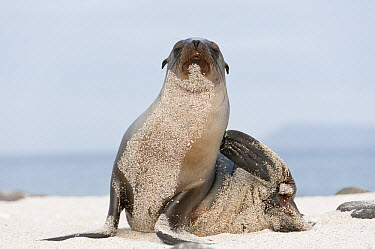 Galapagos Sea Lion (Zalophus wollebaeki) scratching itself, Galapagos Islands, Ecuador  -  Tui De Roy