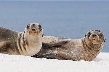 Galapagos Sea Lion (Zalophus wollebaeki) females on beach, Galapagos Islands, Ecuador  -  Tui De Roy