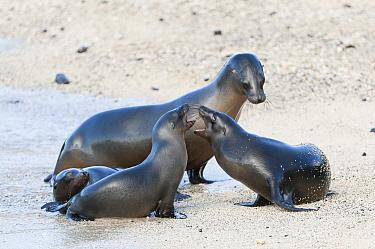 Galapagos Sea Lion (Zalophus wollebaeki) mother playing with pups, Galapagos Islands, Ecuador  -  Tui De Roy