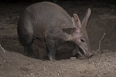 Aardvark (Orycteropus afer) young male emerging from deep burrow, Laikipia, Kenya  -  Mark Jones