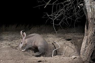 Aardvark (Orycteropus afer) young male emerging from deep burrow, Laikipia, Kenya  -  Mark Jones