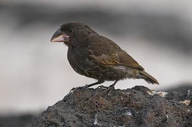 Large Ground Finch (Geospiza magnirostris), Galapagos Islands, Ecuador  -  Steve Gettle