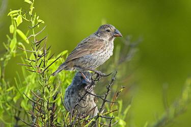 Medium Ground-Finch (Geospiza fortis) pair, Galapagos Islands, Ecuador  -  Steve Gettle