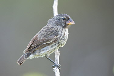Medium Ground-Finch (Geospiza fortis), Galapagos Islands, Ecuador  -  Steve Gettle