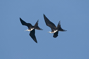 Magnificent Frigatebird (Fregata magnificens) pair flying, Galapagos Islands, Ecuador  -  Steve Gettle