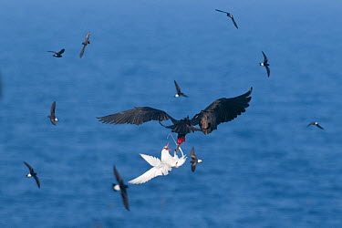 Magnificent Frigatebird (Fregata magnificens) male stealing food from Red-billed Tropicbird (Phaethon aethereus), Galapagos Islands, Ecuador  -  Steve Gettle