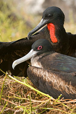 Magnificent Frigatebird (Fregata magnificens) pair, Galapagos Islands, Ecuador  -  Steve Gettle