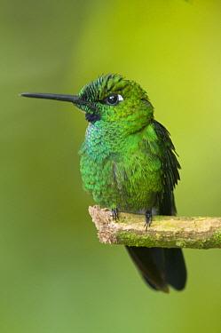 Green-crowned Brilliant (Heliodoxa jacula) hummingbird, Ecuador  -  Steve Gettle