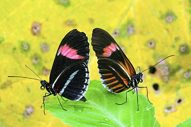 Crimson-patched Longwing (Heliconius erato) butterfly pair, Ecuador  -  Steve Gettle