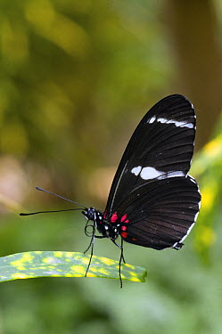 Crimson-patched Longwing (Heliconius erato) butterfly, Ecuador  -  Steve Gettle
