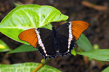 Rusty-tipped Page (Siproeta epaphus) butterfly, Ecuador  -  Steve Gettle