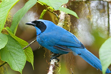 Turquoise Jay (Cyanolyca turcosa), Ecuador  -  Steve Gettle