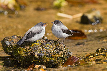 Torrent Tyrannulet (Serpophaga cinerea) with fledgling begging for food, Costa Rica  -  Steve Gettle