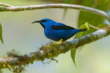 Shining Honeycreeper (Cyanerpes lucidus), Costa Rica  -  Steve Gettle