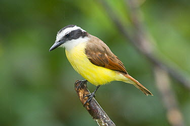Great Kiskadee (Pitangus sulphuratus), Costa Rica  -  Steve Gettle