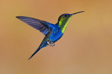 Violet-crowned Woodnymph (Thalurania colombica) hummingbird male flying, Costa Rica  -  Steve Gettle