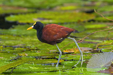 Northern Jacana (Jacana spinosa) walking on lily pads, Costa Rica  -  Steve Gettle