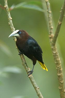 Chestnut-headed Oropendola (Psarocolius wagleri), Costa Rica  -  Steve Gettle