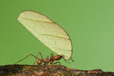 Leafcutter Ant (Atta sp) carrying leaf, Costa Rica  -  Steve Gettle