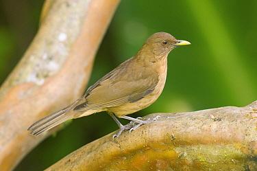 Clay-colored Thrush (Turdus grayi), Costa Rica  -  Steve Gettle