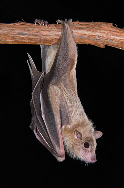 Egyptian Fruit Bat (Rousettus aegyptiacus) roosting, Michigan  -  Steve Gettle