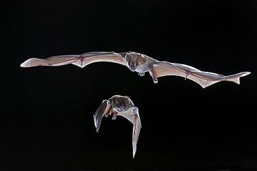 Jamaican Fruit-eating Bat (Artibeus jamaicensis) pair flying, Michigan  -  Steve Gettle