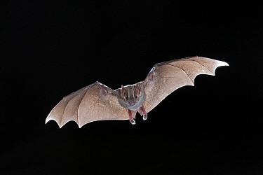 Jamaican Fruit-eating Bat (Artibeus jamaicensis) flying, Michigan  -  Steve Gettle