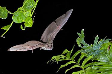 Egyptian Fruit Bat (Rousettus aegyptiacus) flying, Michigan  -  Steve Gettle