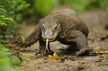 Komodo Dragon (Varanus komodoensis) walking with tongue extended, Nusa Tenggara, Indonesia  -  Ch'ien Lee