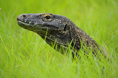 Komodo Dragon (Varanus komodoensis) in grass, Nusa Tenggara, Indonesia  -  Ch'ien Lee