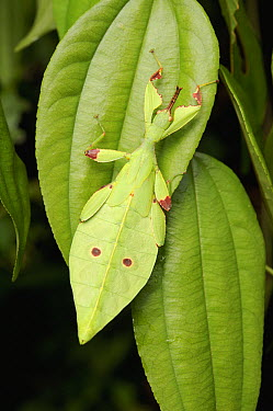 Leaf Insect (Phyllium sp) juvenile camouflaged on leaf, Sarawak, Borneo, Malaysia  -  Ch'ien Lee