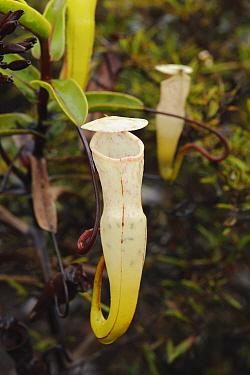 Pitcher Plant (Nepenthes alba) pitchers, Gunung Tahan, Kelantan, Malaysia  -  Ch'ien Lee