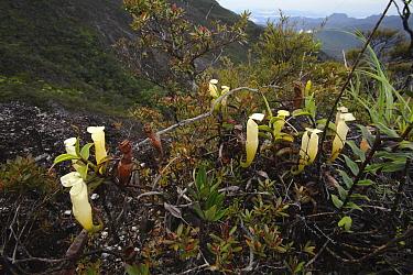 Pitcher Plant (Nepenthes alba) pitchers on mountain, Gunung Tahan, Kelantan, Malaysia  -  Ch'ien Lee